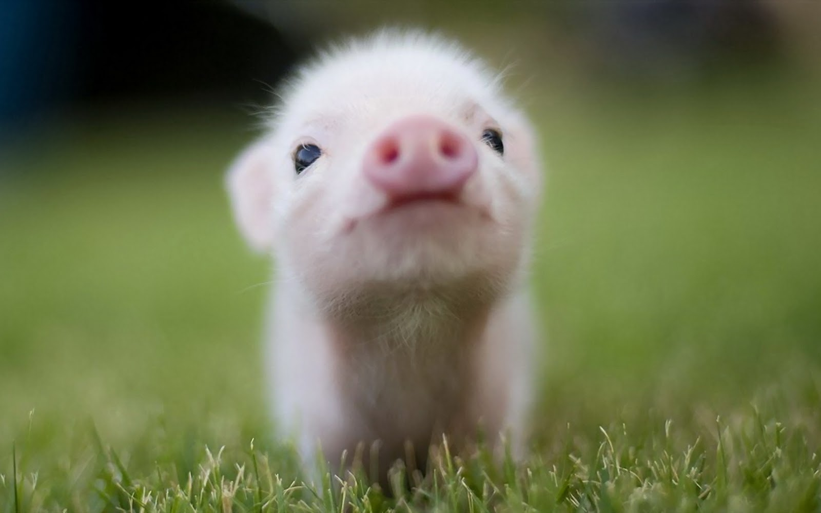 Animals_Beasts_Little_pig_028817_